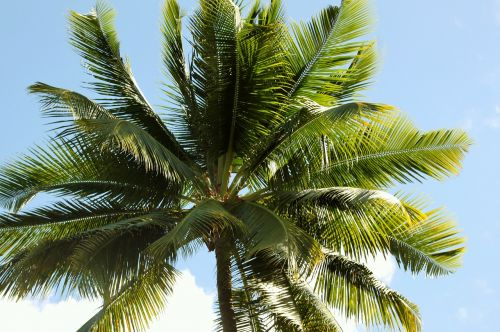 palm tropic coconut