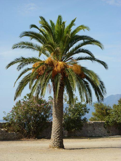 palm mediterranean exotic
