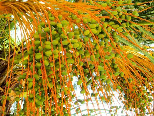 palm plant dates