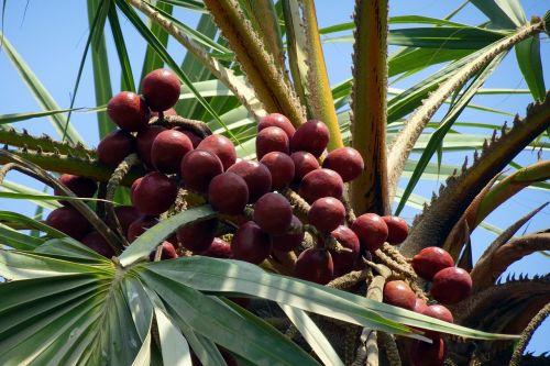 palm fruit hokka tree