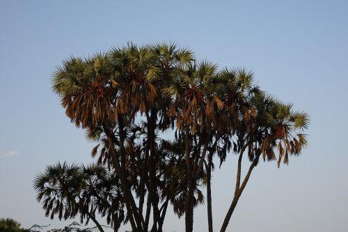palm hokka tree hyphaene thebaica