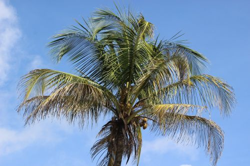 palm coconut coconut tree