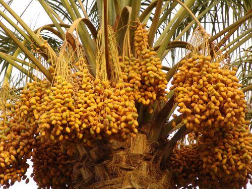 palm date arbre de date