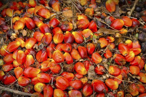 palm oil fruit
