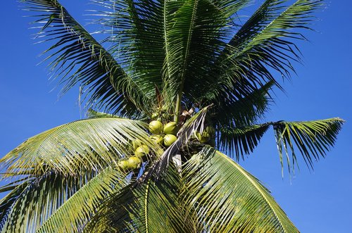 palm  blue pearly  coconuts