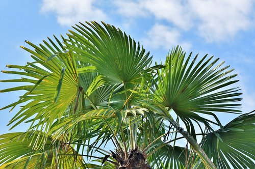 palm  palm leaves  leaves