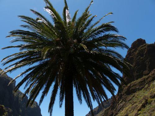 palm canary island date palm phoenix canariensis