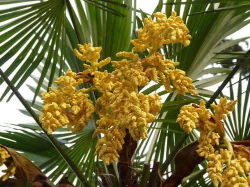 palm hemp palm umbrella palm