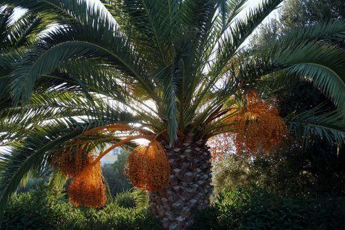 palm dates datlová palma