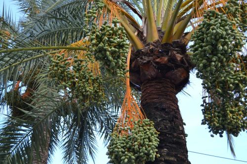 palm fruits plant