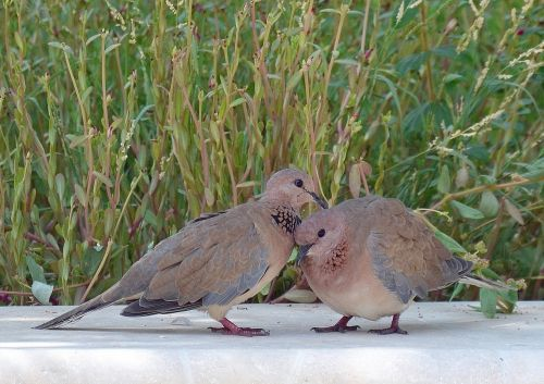 palm doves pigeon birds