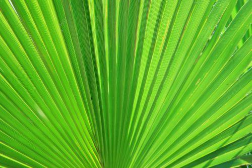 Palm, Fan Leaf Type