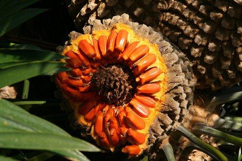 palm fruit  palm  orange