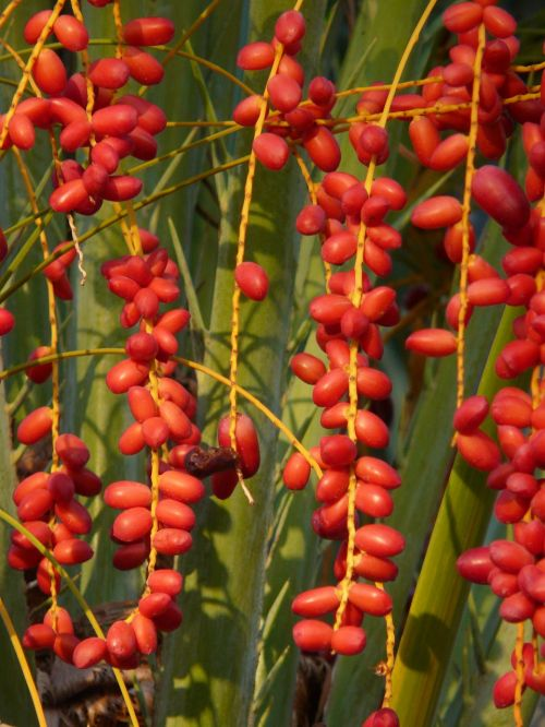 palm fruit palm seeds date palm