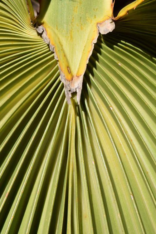 palm leaf subjects fan shaped