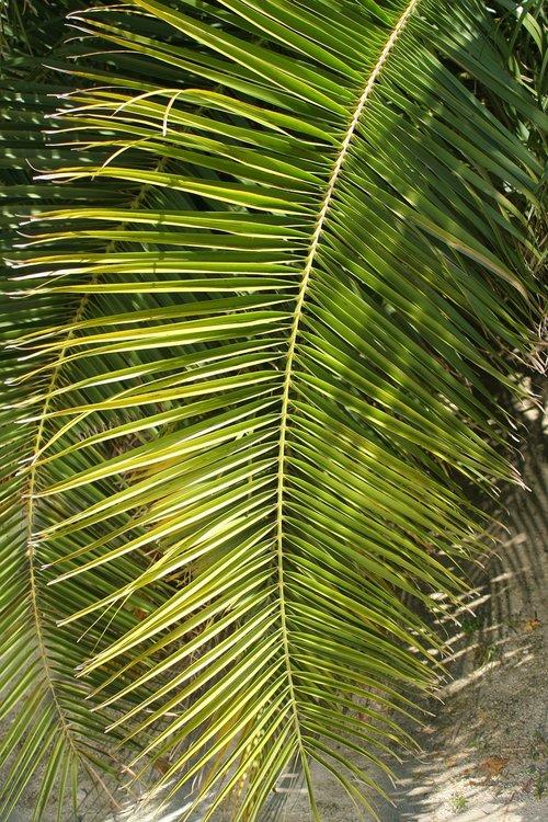 palm leaf  nature  tropic