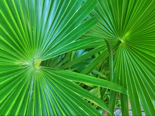 palm leaves fronds palm trees