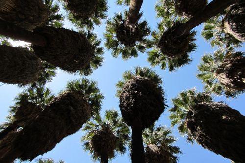 palm springs palm dessert palm