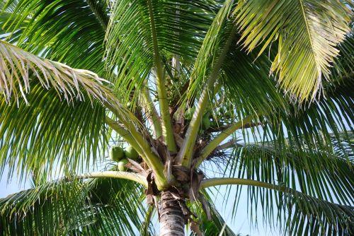 palm tree tree coconuts