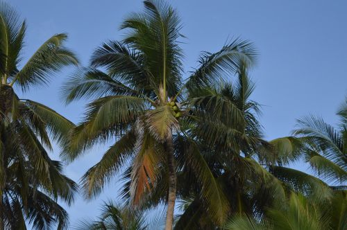 palm tree coconut tree coconut