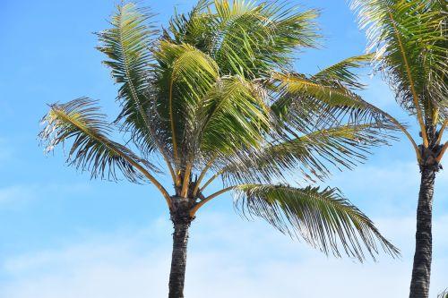 palm tree tropical palm