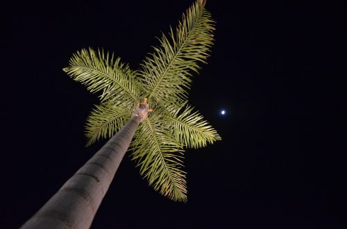 palm tree nocturne moon