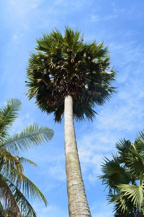 palm tree tree tropical