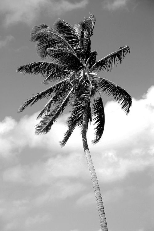 palm tree black white