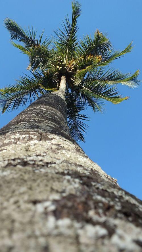 palm tree majestic long