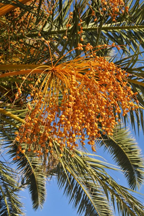 palm tree dates tropical