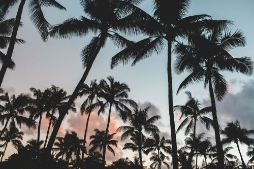 palm trees trees dusk