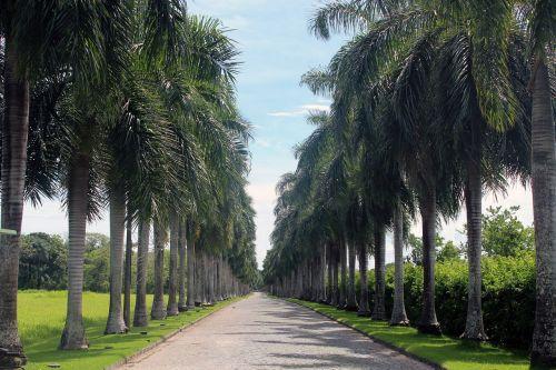 palmės,alėja,kelias,įvedimas,gamta,parkas,aukštas,žalias,medžiai,Brazilija,palmės alėja,kelionė,simetriškas,visada tiesiai į priekį