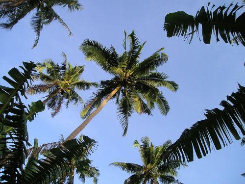 palm trees samoa exotic