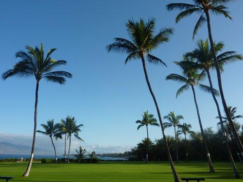 palm trees  maui  hawaii