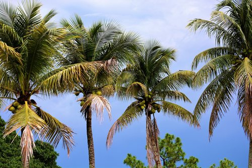 palm trees  coconut trees  coconuts