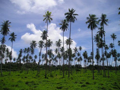 palm trees rießenpalmen samoa