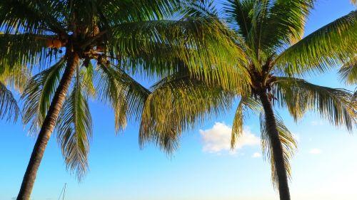 palm trees coconut coconut tree