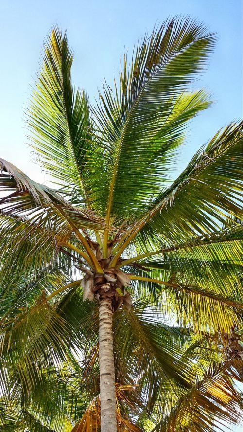 palma palme palm