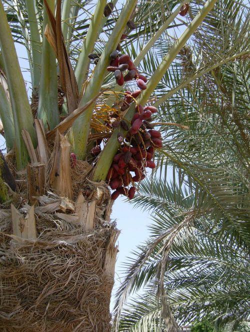 palma dates plant