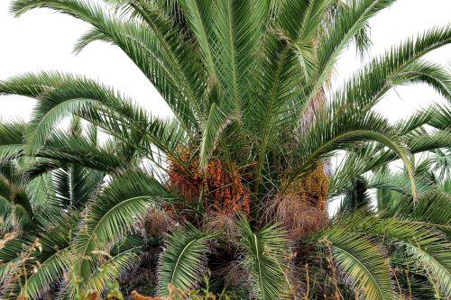 palma dates date palm
