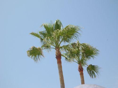 palma,palmės,delnas,lapija,papirusas kaip,medis,Kokosų palmės,egzotiškas,atogrąžų