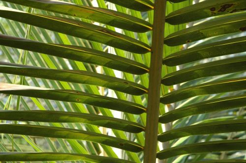 palms fronds coconut tree