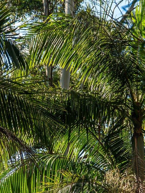 palms  bangalow palms  fronds