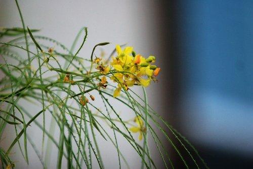 palo verde  jerusalem thorn  branch