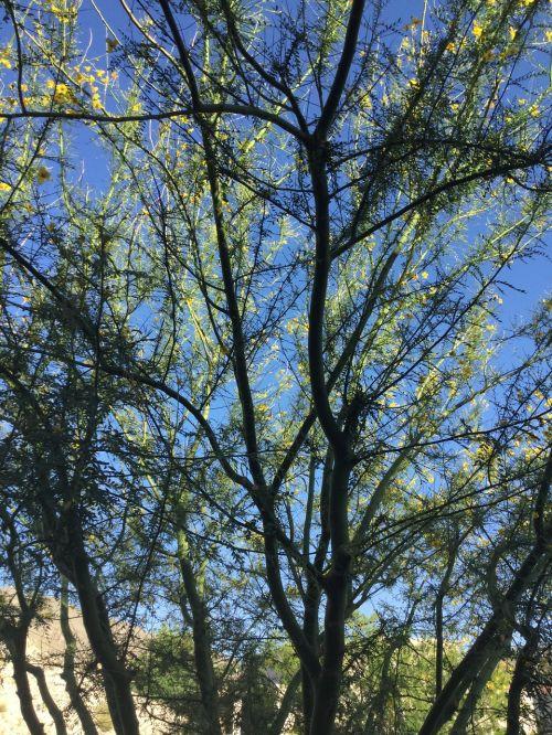 palo verde tree desert southwest