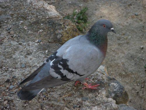 paloma birds animals