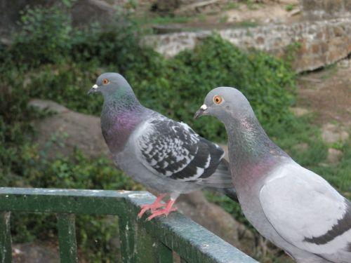 paloma ave pigeons