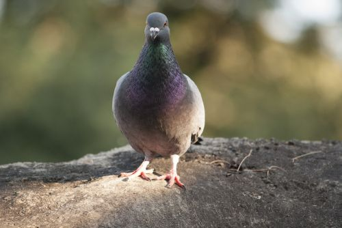 paloma animals ave