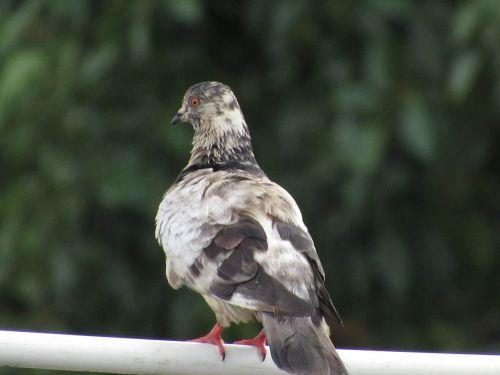 paloma ave bird