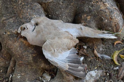 paloma dead pigeon bird